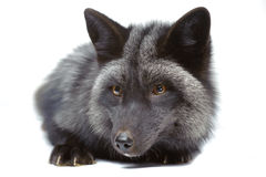 Silver fox laying Royalty Free Stock Images