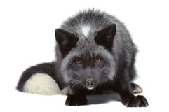 Silver fox leaning Royalty Free Stock Photos