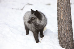 Silver fox looking left in the snow Royalty Free Stock Images