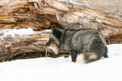 Silver fox lunch time royalty free stock photography
