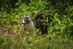Silver Fox and Marble Fox Vulpes vulpes Looks Out From Weeds Stock Image
