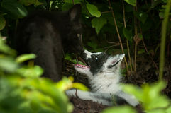 Silver Fox and Marble Fox (Vulpes vulpes) Nose Touch Stock Photography