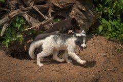 Silver Fox and Marble Fox Vulpes vulpes Run Right Royalty Free Stock Photo