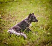 Silver Fox Royalty Free Stock Photos