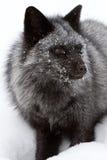 Silver Fox Portrait. Snowy Silver Fox Portrait in Montana Royalty Free Stock Photos