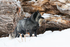Silver fox with prey in mouth Stock Photos
