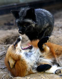Silver fox and red fox Royalty Free Stock Photography