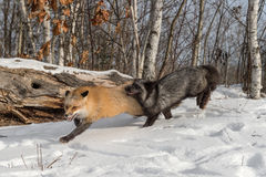 Silver Fox Vulpes vulpes Chases After Amber Phase Red Fox. Captive animals Royalty Free Stock Photos