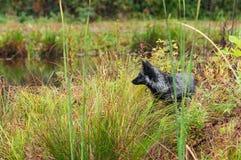 Silver Fox (Vulpes vulpes) Looks Left on Shoreline Royalty Free Stock Photo