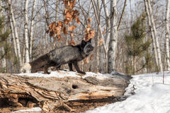 Silver Fox Vulpes vulpes Looks Up Atop Log Stock Photo
