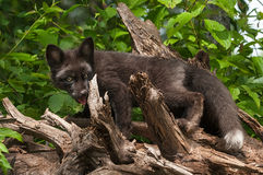 Silver Fox (Vulpes vulpes) on Root Bundle Royalty Free Stock Image