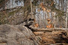 Silver Fox Vulpes vulpes Sits Atop Log. Captive animal Royalty Free Stock Photos