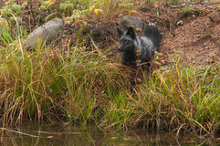 Silver Fox (Vulpes vulpes) Sits on Shoreline Stock Images