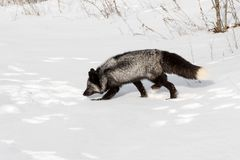 Silver Fox Vulpes vulpes Trots Left Stock Photography
