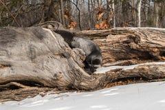 Silver Fox Vulpes vulpes Turns on Log Royalty Free Stock Photos
