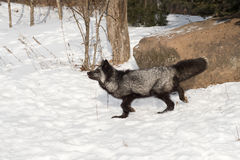 Silver Fox Vulpes vulpes Walks Left Royalty Free Stock Photos