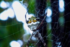 Silver garden spider. Argiope argentata spider family Araneidae, silver garden spider on a web spiderweb Stock Photos