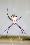 Silver garden spider Stock Images