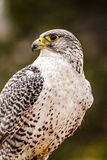 Silver Gerfalcon in WInter Setting Royalty Free Stock Photo