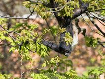 Silver gibbon, Hylobates of molluscs, in the branches. The Silver gibbon, Hylobates of molluscs, in the branches Stock Image