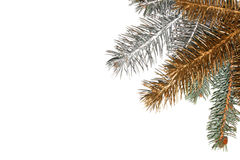 Silver, gold and green pine tree branch. Royalty Free Stock Photography