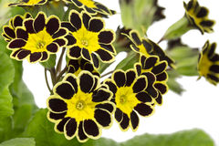Silver and Gold-laced Primrose Royalty Free Stock Photo