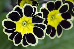 Silver and Gold-laced Primrose closeup Royalty Free Stock Photo
