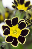 Single Silver and Gold-laced Primrose Stock Images