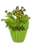 Silver and Gold-laced Primrose in a pot Royalty Free Stock Photography