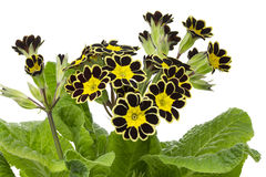 Silver and Gold-laced Primrose Royalty Free Stock Image