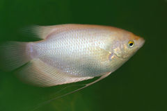 Silver Gourami fish Royalty Free Stock Photos