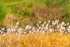 Silver grass in autumn Royalty Free Stock Photo