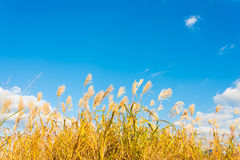 Silver grass in autumn Stock Images