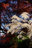Silver grass and autumn foliage, Kyoto Japan. Autumn scene of silver grass and red leaves of Japanese maple tree at Japanese garden in Kyoto Japan Royalty Free Stock Photography