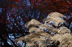 Silver grass and autumn foliage, Kyoto Japan. Autumn scene of silver grass and red leaves of Japanese maple tree at Japanese garden in Kyoto Japan Royalty Free Stock Photo
