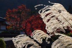 Silver grass and autumn foliage, Kyoto Japan. Royalty Free Stock Photo
