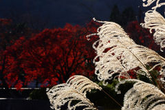 Silver grass and autumn foliage, Kyoto Japan. Autumn scene of silver grass and red leaves of Japanese maple tree at Japanese garden in Kyoto Japan Stock Photo