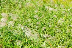 Silver grass in autumn Stock Image