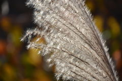 Silver grass ear. Pampas grass is a plant representing the fall of Japan. Ears of the Japanese pampas grass in the Meadow preserved in the silver lining, wind Stock Image