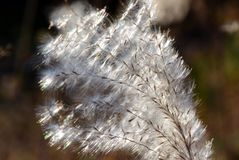 Silver grass ear. Pampas grass is a plant representing the fall of Japan. Ears of the Japanese pampas grass in the Meadow preserved in the silver lining, wind Royalty Free Stock Images