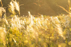 Silver grass field. Silver grass shining by the sunlight at the riverside of Tamagawa, Tokyo Royalty Free Stock Photos