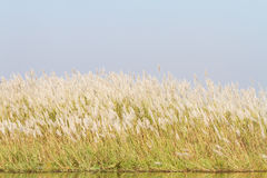 Silver grass flower Royalty Free Stock Image
