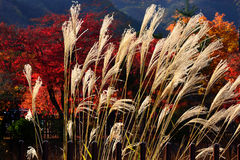 Silver grass and Japanese garden, Kyoto Japan. Autumn scene of silver grass and red leaves of maple trees at Japanese garden in Kyoto Japan Stock Photography
