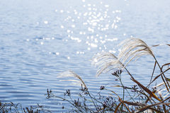 Silver grass and the river. Silver grass on the river bank and the glittering river Tamagawa, Tokyo, Japan Royalty Free Stock Photography