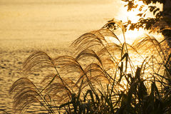 Silver grass. Shining by the setting sunlight at the riverside of Tamagawa, Tokyo Royalty Free Stock Photo