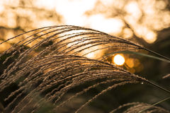 Silver grass at sunset. Silver grass and the setting sun in the mountain Stock Photography
