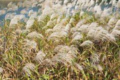Silver grasses in autumn Royalty Free Stock Images