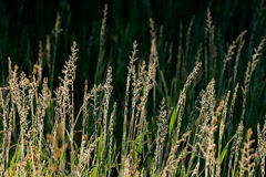 Silver grasses Royalty Free Stock Image