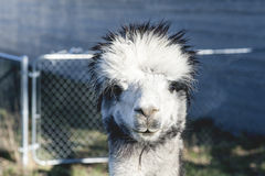 Silver Gray Alpaca Stock Images
