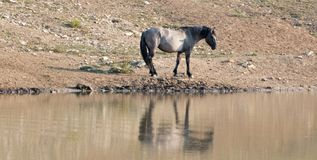 Silver Gray Grulla wild horse stallion reflecting at the waterhole in the Pryor Mountains Wild Horse Range in Montana USA Stock Images